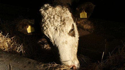 Tagged Cow